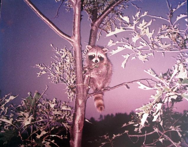 Canada-Baby Raccoon-Emerald Isle-Photo-Framed-(16X20)-$100